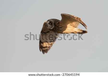A short-eared owl in flight in the evening - stock photo