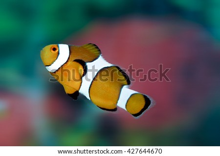 A shot of a beautiful common clownfish - stock photo
