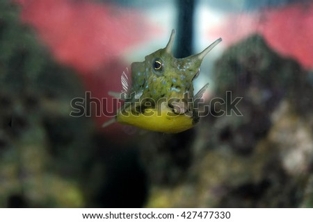 a shot of a beautiful specimen of longhorn cowfish