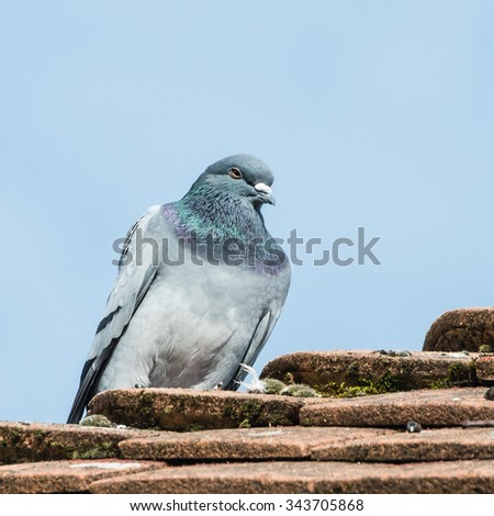 A shot of a feral pigeon dozing off on the roof of a house. - stock photo