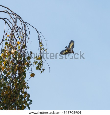 A shot of a goldfinch leaping from a tree. - stock photo