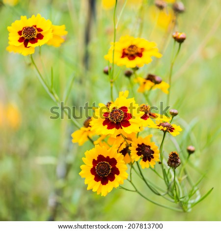 A shot of a group of plains coreopsis blooms. - stock photo
