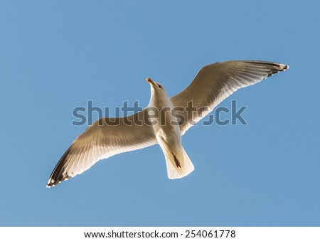 A shot of a herring gull flying through a blue sky. - stock photo