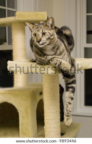 A shot of a highly rare savannah cat, lounging on its perch.  This is a very expensive pet. - stock photo