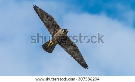 A shot of a peregrine falcon flying through a cloudy blue sky. - stock photo