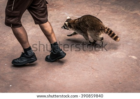 A shot of a person jogs with a raccoon. - stock photo