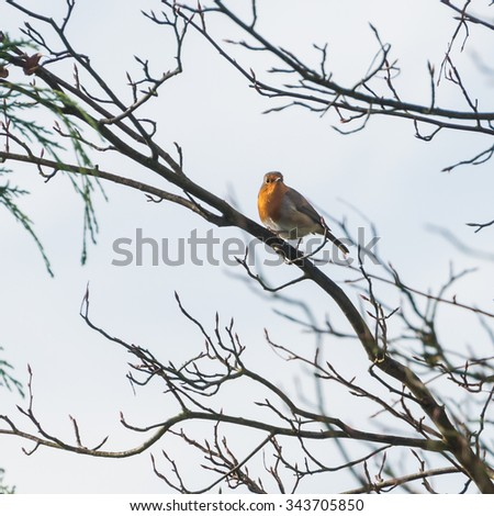 A shot of a robin red breast sitting in a tree.