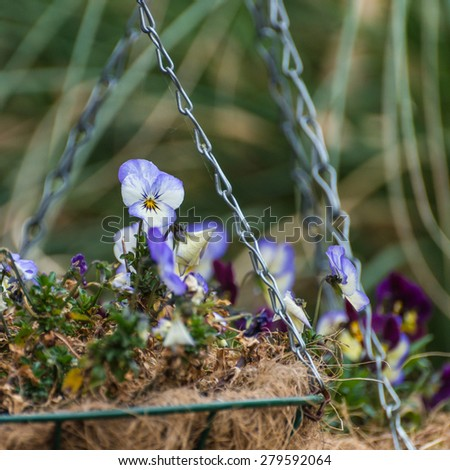 A shot of a viola standing out in a springtime hanging basket display. - stock photo