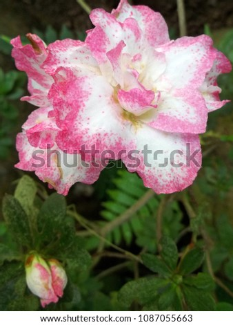 Shot white flower pink hues on stock photo royalty free 1087055663 a shot of a white flower with pink hues on the edges of the ruffled petals mightylinksfo