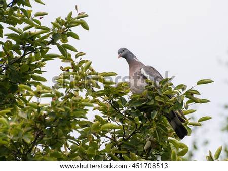 A shot of a wood pigeon sitting at the top of an amelanchier tree.