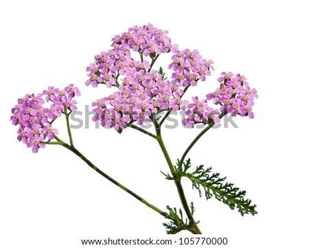 A shot of an isolated Yarrow flower - stock photo