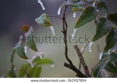 A shot of ice on leaves in Germany. The New Year has seen large amounts of fog and ice spread across Germany. - stock photo