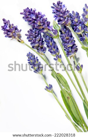 A shot of lavender sprigs on the white background - stock photo