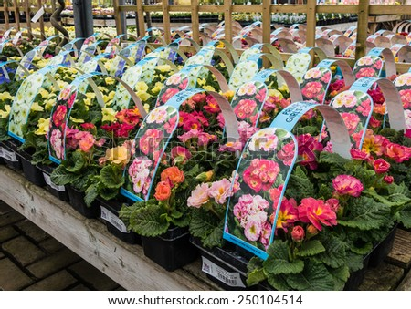 A shot of numerous primrose plants for sale at the garden centre ready for spring planting. - stock photo