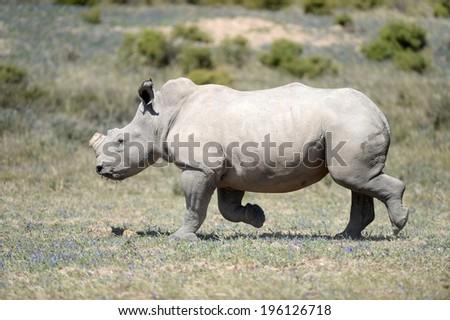 A shot of rhinos in captivity - stock photo