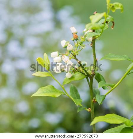 A shot of some blueberry bush blossom. - stock photo