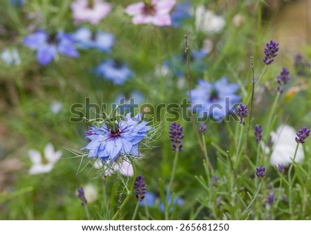 A shot of some nigella and lavender blooms. - stock photo