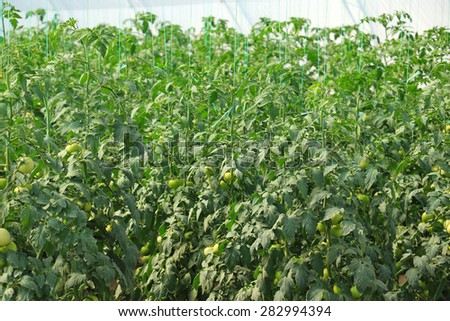 A shot of tomato plants growing inside a greenhouse - stock photo