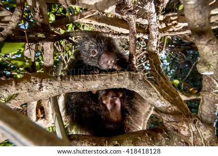 A shy Bahia porcupine tries to hide behind branches in a tree.  - stock photo