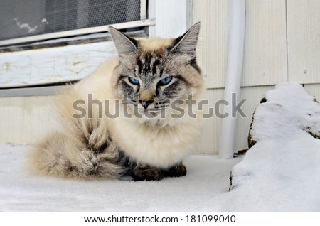 A Siamese/Balinese mixed breed cat on the steps of a house waiting to go in and get warm. - stock photo
