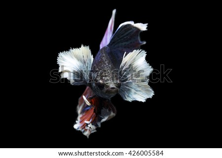 A Siamese fighting fish, long tail white and blue Betta big ear fish, on black background. Plakad is  normal name in Thai.  The biggest breeder is in Nakornpathom