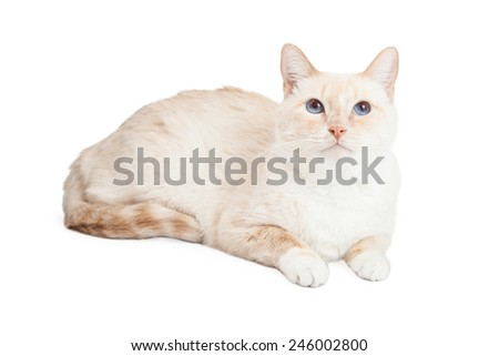 A Siamese Mix Breed Cat laying at an angle looking upwards.  - stock photo