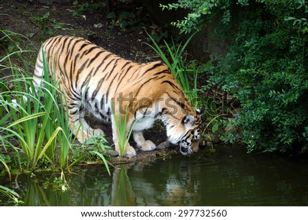 A Siberian tiger drinks between planting and bushes 
