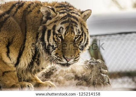 A Siberian tiger looking at the camera from the Siberian Tiger Reserve in Harbin China - stock photo