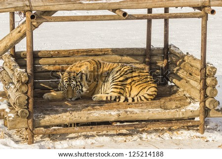 A Siberian tiger lying in a wooden structure at the Siberian Tiger Reserve in Harbin China - stock photo