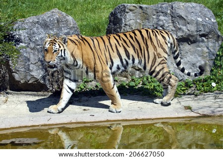 A Siberian Tiger pacing by some water