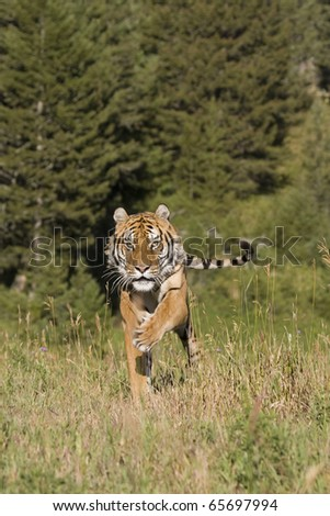A Siberian Tiger Running in the Woods - stock photo