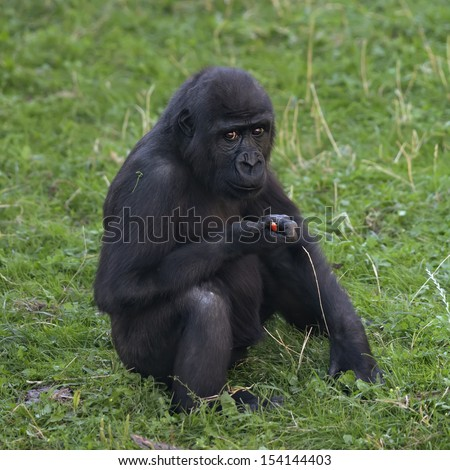 A side portrait of a young gorilla male, sitting on the green grass. The little great ape is going to be the most mighty and biggest monkey of the primate world. Eye to eye portrait.