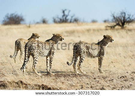 A side view, full length, colour photograph of a coalition of three cheetah, Acinonyx jubatus, brothers on the hunt in Mashatu Game Reserve, Northern Tuli, Botswana. - stock photo