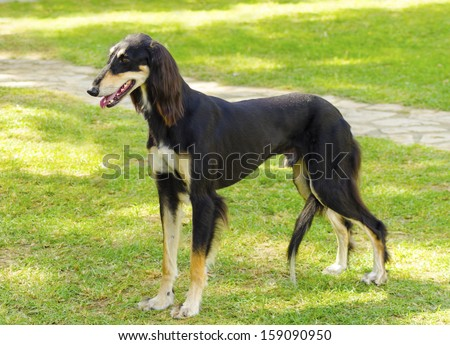 A side view of a healthy beautiful grizzle, black and tan, Saluki standing on the lawn looking happy and cheerful. Persian Greyhound dogs are slim and slender with a long narrow head. - stock photo