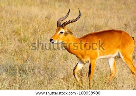 A side view of a Ugandan Kob in Queen Elizabeth National Park, Uganda - stock photo