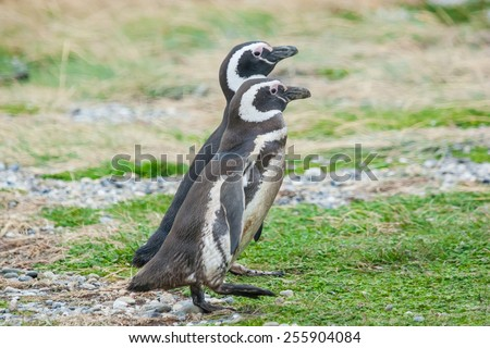 A side view of two magellanic penguins walking side by side on a field in Punta Arenas, Chile. - stock photo