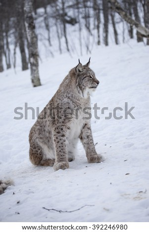 A side view profile of a Lynx wildcat lying in deep snow during a Norwegian winter.Troms.