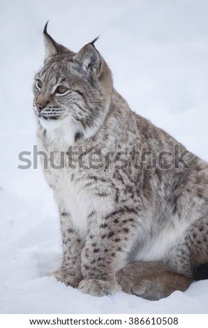 A side view profile of a Lynx wildcat lying in deep snow during a winter. Norway. - stock photo