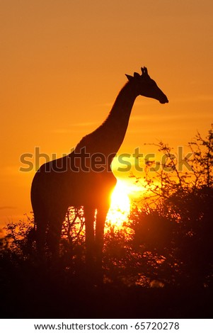 A silhouette of a giraffe at sunset