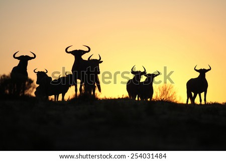 A silhouette of a herd of blue wildebeest against a spectacular African sunrise. Taken in Kenya during the great migration. - stock photo