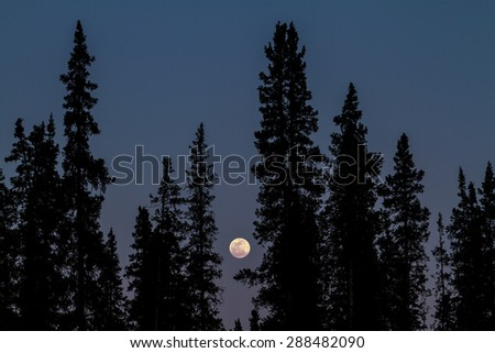 A silhouette of Sitka Spruce trees on a full moon night in Denali National Park in Alaska.