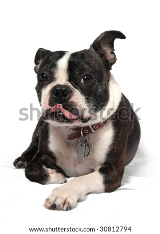 A silly Boston Terrier in front of a white background - stock photo