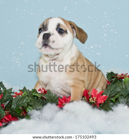 A silly Bulldog puppy sitting in a snow scene making a funny face.
