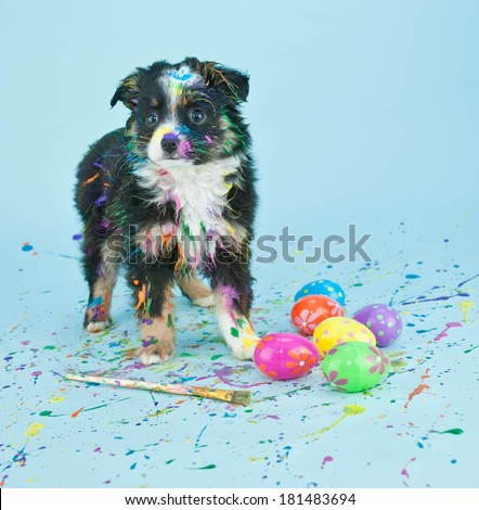 A silly little  Australian Shepherd puppy that looks like he had to much fun painting Easter eggs.