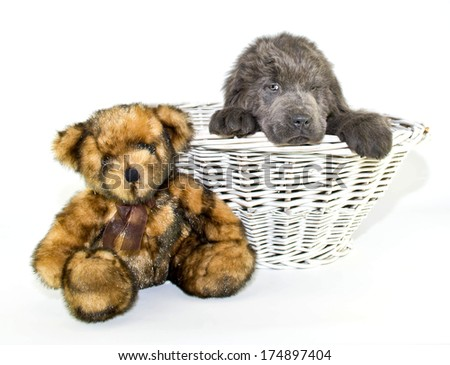 A silly Newfoundland puppy looking disgusted at a teddy bear beside him. - stock photo