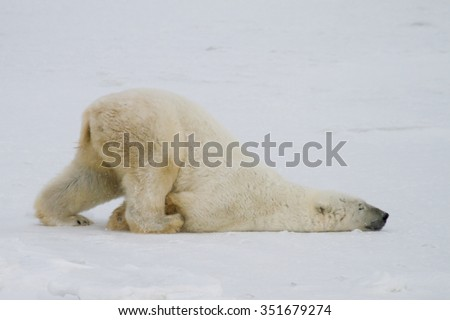 a silly polar bear pushes across the snow on his belly. - stock photo