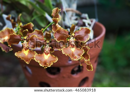 A simple hanging pot of a rare brown orchid. Shallow depth of field catches these delightful flowers in their traditional terra cotta pot with holes which is faded into the green background Horizontal