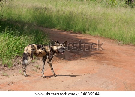 a single African wild dog on a gravel road in South Africa