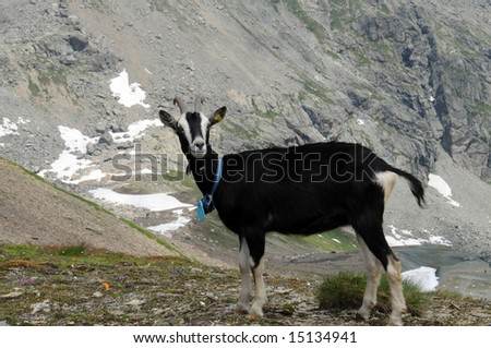 a single black goat high up in the swiss alps