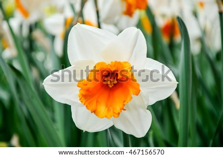 A single blooming white-yellow narcissus and green foliage in glasshouse at Keukenhof in Netherlands during springtime.